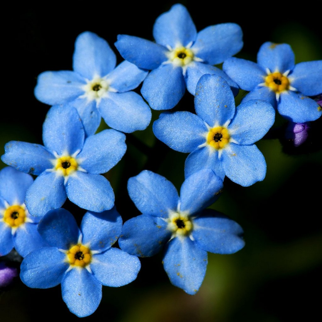 forget me not flowers bouquet  gallery, Natural flower