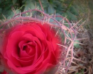 rose amng the thorns 2