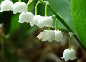 lily-of-the-valley1.gif