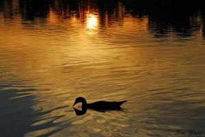 duck-with-sunrise by Sue nash